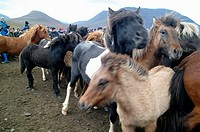 Flock of Icelandic horses and some people in background