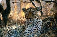 Leopard, Mala Mala Game Reserve, Mpumalanga, South Africa