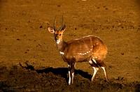Bushbuck, Pilanesberg National Park, North West Province, South Africa