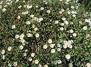 Narrow-leaved rockrose in Mediterranean shore (Cistus monspeliensis). Viladecans. Spain.