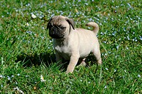 carlino, puppy