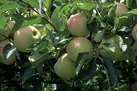 italy, trentino, val di non, gold apples