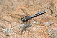 Blue Dragonfly (Orthetrum brunneum). La Gomera, Canary Islands. Spain