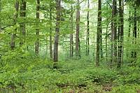 Beech trees. Bavaria, Germany
