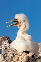 Masked Booby (Sula dactylatra). Española (Hood Island). Galápagos Islands. Ecuador