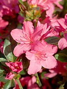 Rhododendron (Rhododendron sp.)