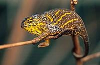 Chameleon. Madagascar