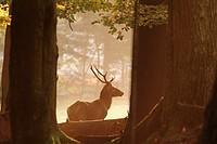 Stag (Cervus elaphus) in autumn forest. Bavaria, Germany.