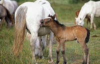Wild horse of Camargue. Foal yawning. Camargue. Southern France