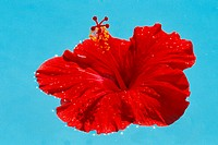 Close-up of single red hibiscus floating in pool