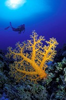 Australia, Coral Sea, Alcyonarian coral dominates this reef scene with a diver