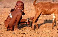 Himba wife milking goats. Kaokoveld. Namibia.