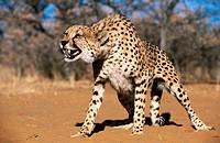 Cheetah (Acinonyx jubatus) in captivity. Game Farm. Namibia.