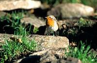 Animal, Animals, Bird, Birds, Canton Ticino, Erithacus rubecula, European Robin, European Robins, Fauna, Nature, rob