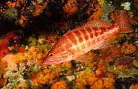 Comber (Serranus cabrilla), Mediterranean Sea