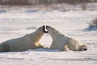 Adult male Polar Bears (Ursus maritimus) in ritualistic fighting stance (injuries are rare) near Churchill, Manitoba, Canada.