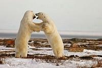 Adult male Polar Bears (Ursus maritimus) in ritualistic fighting stance (injuries are rare!) near Churchill, Manitoba, Canada.