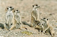 Meerkat or suricate (Suricata suricatta) family with young on the lookout at the edge of their burrow. Kgalagadi Desert. Southeast Namibia
