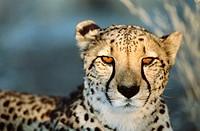 Cheetah (Acinonyx jubatus) female in captivity on a Farm. Namibia