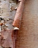 Birch Bark. North Cascades. Washington. USA.