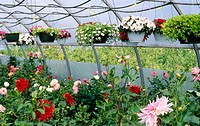 Boxed and suspended flowers in commercial greenhouse