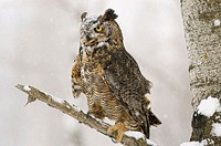 Long eared owl (asio otus) with damaged wing in tree during snow fall
