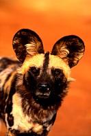 Wild Dog, Hwange National Park, Zimbabwe