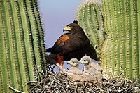 Harris´ Hawk (Parabuteo unicinctus). At nest in saguaro cactus, group hunters showing rabbit prey raptor. Desert dwellers. Arizona. USA.