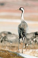 Cranes. Laguna de Gallocanta area. Zaragoza province, Spain