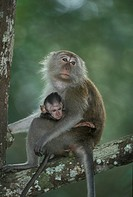 Long Tailed Macaque , Macaca facicularis , Singapore , Asia  , Adult with young , with baby