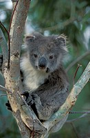 Koala , Phascolarctos cinereus , Australia , Subadult on tree , young