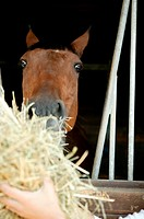 A horse being fed hay