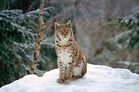 Lynx (Felis lynx lynx)