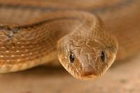Ladder snake (Elaphe scalaris). Soneja. Castellon province. Spain.