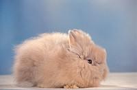 A shaggy infant rabbit