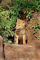 Coyote (Canis latrans), juvenile