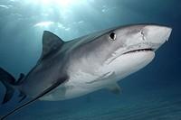 Caribbean, Bahamas, Little Bahama Bank, 14 foot tiger shark [Galeocerdo cuvier]