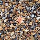 Starfish on pebble beach