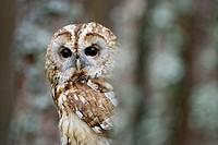 Tawny Owl (Strix aluco) adult in pine forest. Scotland.