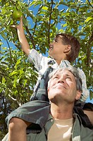 Grandson picking apples from grandfather´s shoulders