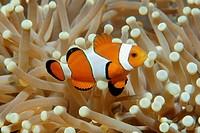 False clown anemone fish, Amphiprion ocellaris, on magnificent sea anemone, Heteractis magnifica, Dumaguete, Negros Island, Philippines
