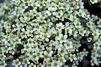 saxifraga caesia flowers, adamello natural park, italy