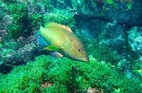 Coney grouper, Cephalopholis fulva, Ilha do Meio, Fernando de Noronha national marine sanctuary, Pernambuco, Brazil (S. Atlantic)