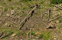 Damages after an avalanche - Fall of trees