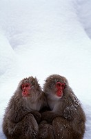 Two snow monkeys cuddling each other in the snow