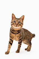Brown tabby cat on a white background