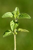 Oregano , Origanum vulgare , Germany , Europe , leaves , food , herb