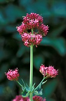 Red valerian , Centranthus ruber , Germany , bloom