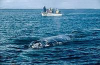 Gray Whale (Eschrichtius robustus), El Vizcaíno Biosphere Reserve. Baja California, Mexico
