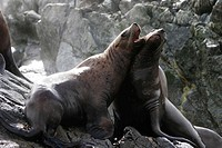 A pair of Steller (Northern) Sea Lions (Eumetopias jubatus) mock fighting in Southeast Alaska, USA.
